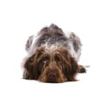 Petland Montgomery German Wirehaired Pointer