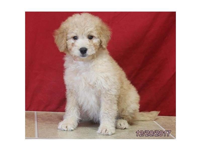 Goldendoodle Mini 2nd Gen-DOG-Female-Red-1971164-Petland Montgomery