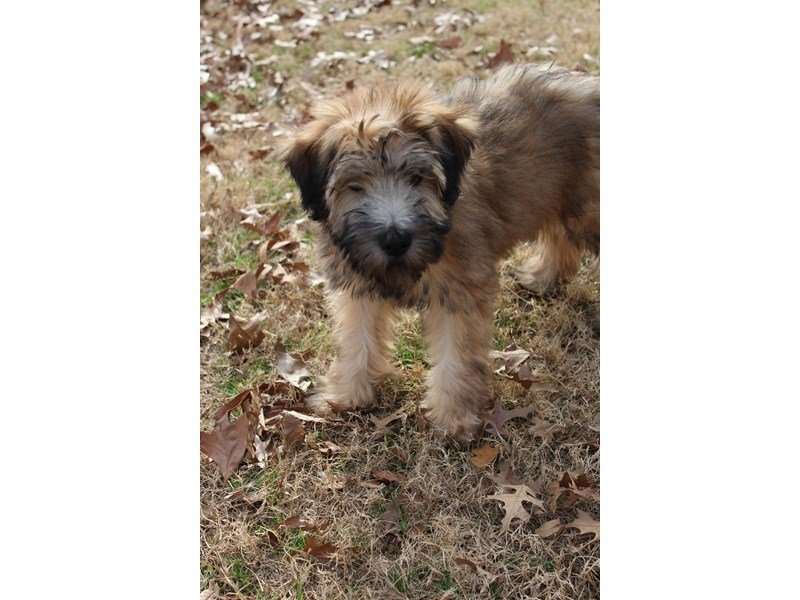Soft Coated Wheaten Terrier-Male-Wheaten-1963930-Petland Montgomery