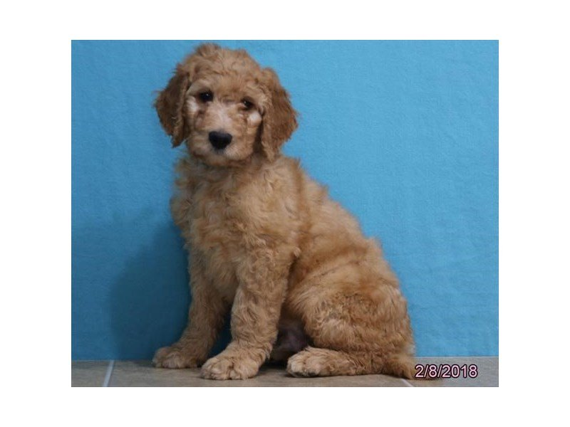 Goldendoodle-Male-Golden-2012165-Petland Montgomery