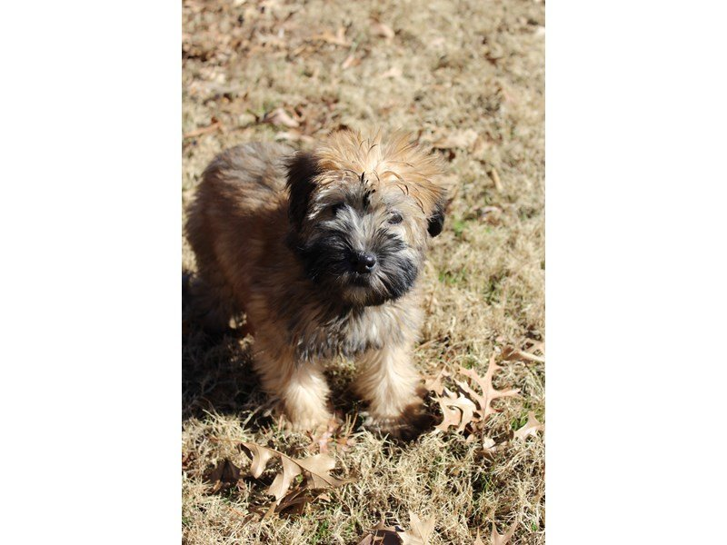 Soft Coated Wheaten Terrier-Female-Wheaten-1963928-Petland Montgomery