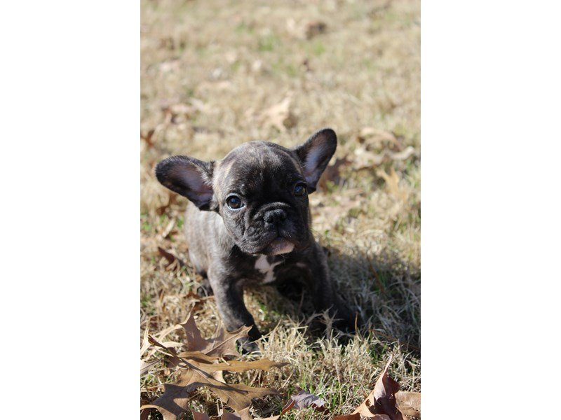 French Bulldog-DOG-Female-Brindle-2000597-Petland Montgomery