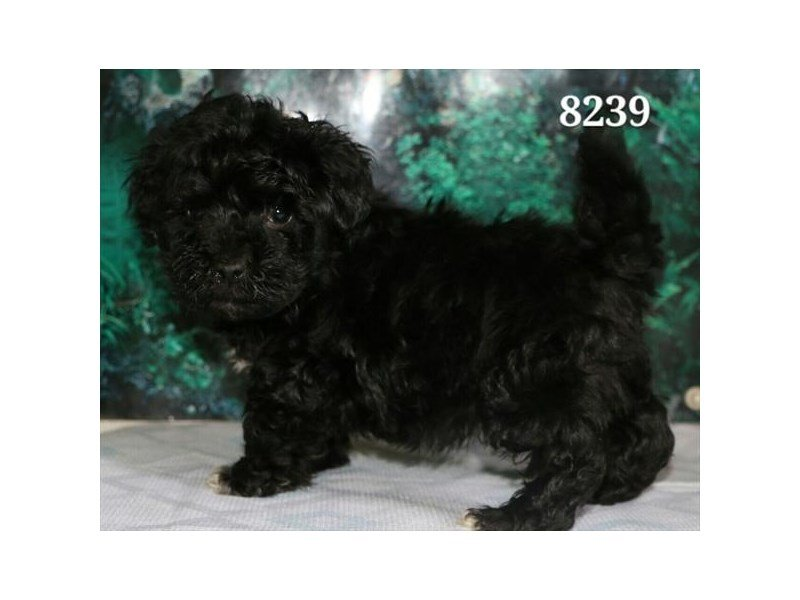 Havanese/Miniature Poodle-DOG-Male-Black-2023460-Petland Montgomery
