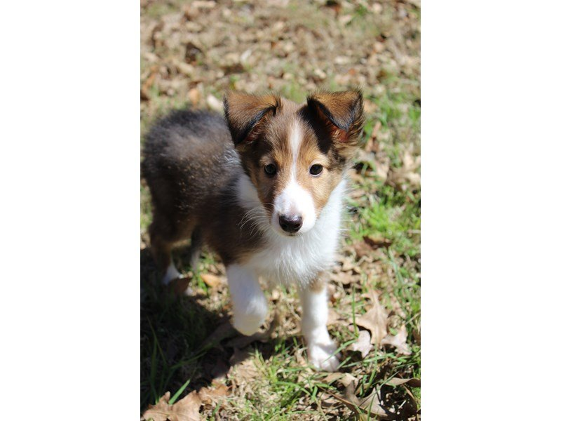 Shetland Sheepdog-DOG-Female-Sable / White-2017643-Petland Montgomery