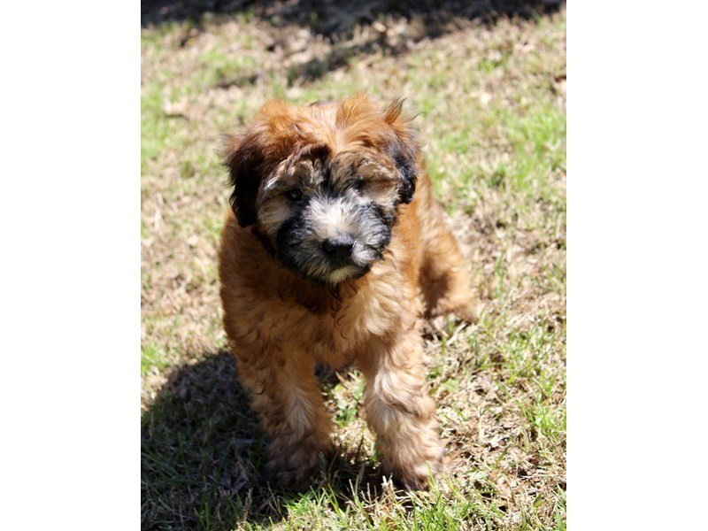 Soft Coated Wheaten Terrier-Male-Wheaten-2028612-Petland Montgomery