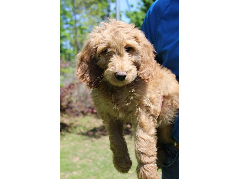 Goldendoodle-Female-Red Golden-2057187-Petland Montgomery