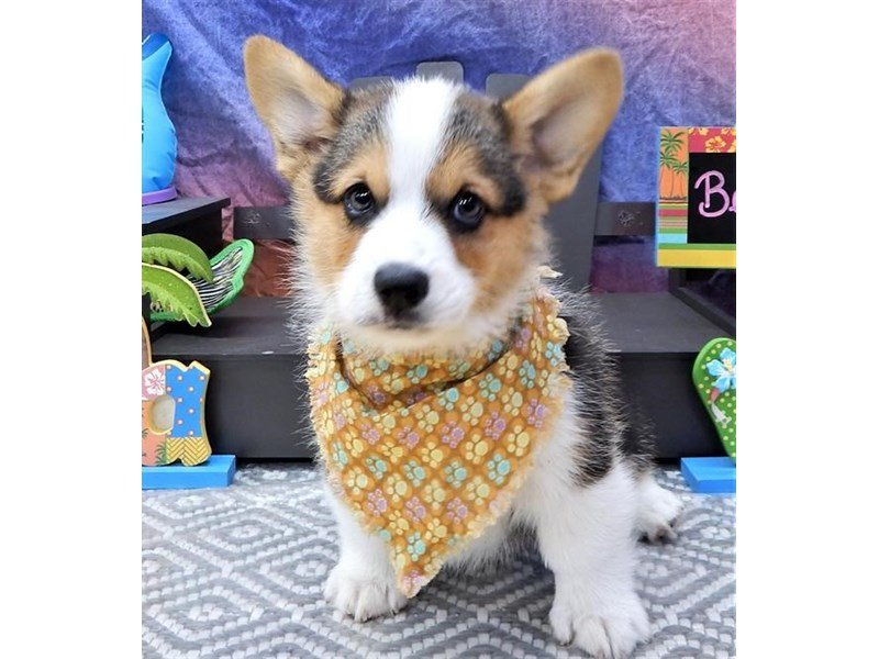 Pembroke Welsh Corgi-DOG-Male-Black / Tan-2100154-Petland Montgomery