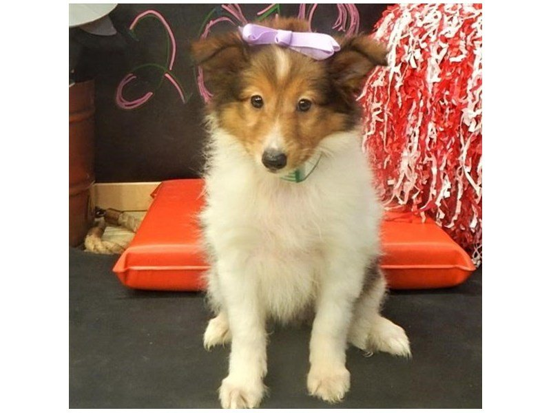 Shetland Sheepdog-Female-Sable / White-2089362-Petland Montgomery