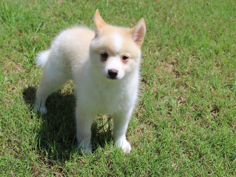 Pomsky-Male-Cream Sable-2087736-Petland Montgomery