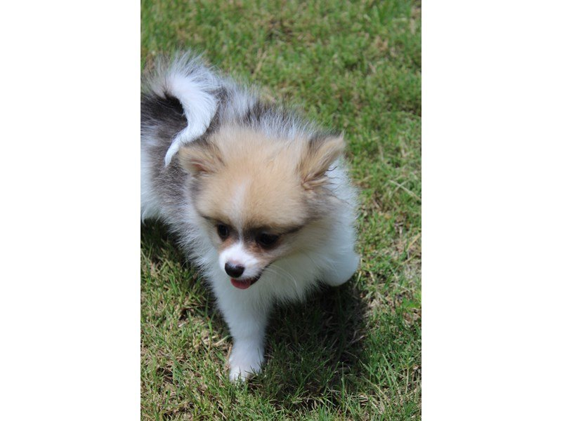 Pomeranian-DOG-Male-Orange Sable-2119790-Petland Montgomery