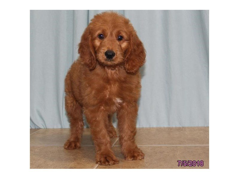 Goldendoodle-Female-Red-2133034-Petland Montgomery