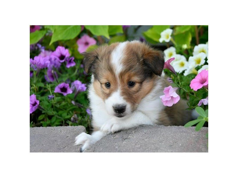 Shetland Sheepdog-Female-Sable / White-2148929-Petland Montgomery