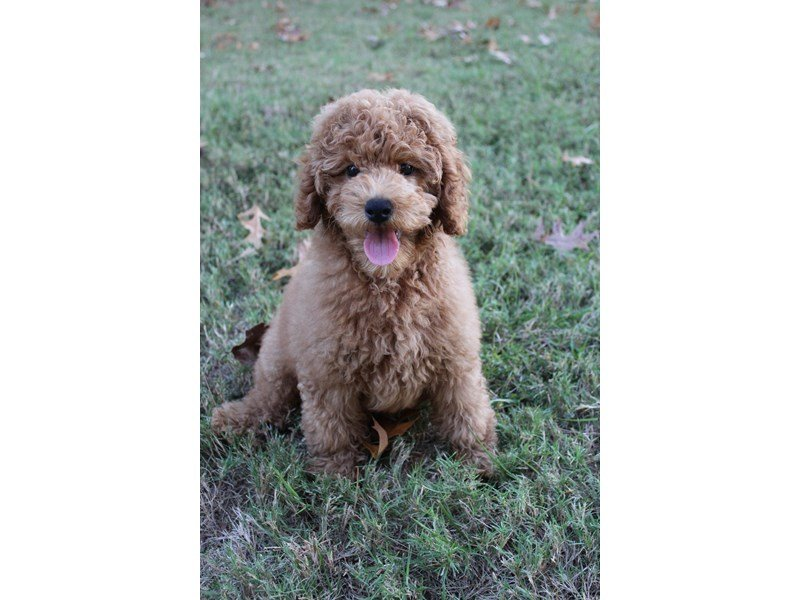 Miniature Poodle-Male-Red-2195740-Petland Montgomery