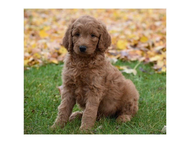 Goldendoodle 2nd Gen-Male-Apricot-2216224-Petland Montgomery