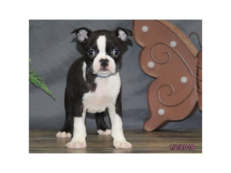 Boston Terrier-Male-Black / White-2251486-Petland Montgomery