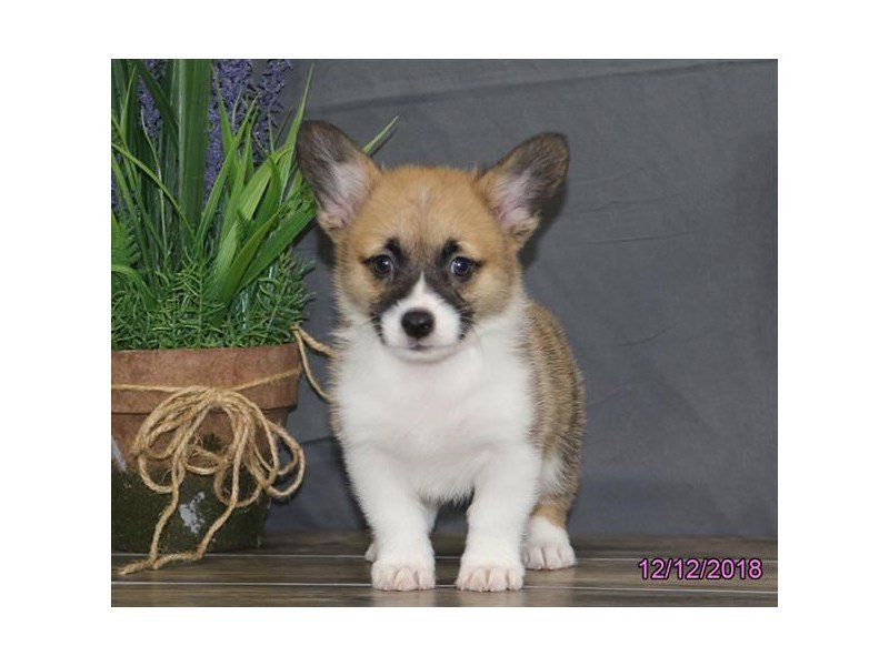 Pembroke Welsh Corgi-Female-Red / White-2236200-Petland Montgomery