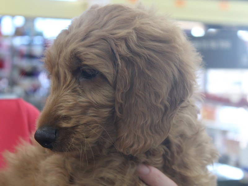 Goldendoodle 2nd Gen-Male-Red-2251485-Petland Montgomery