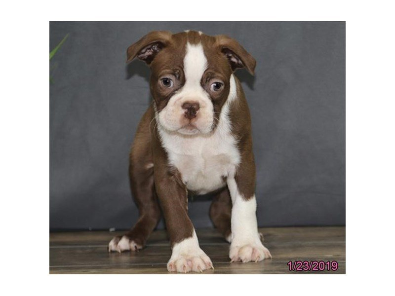 Boston Terrier-Male-Seal / White-2268404-Petland Montgomery