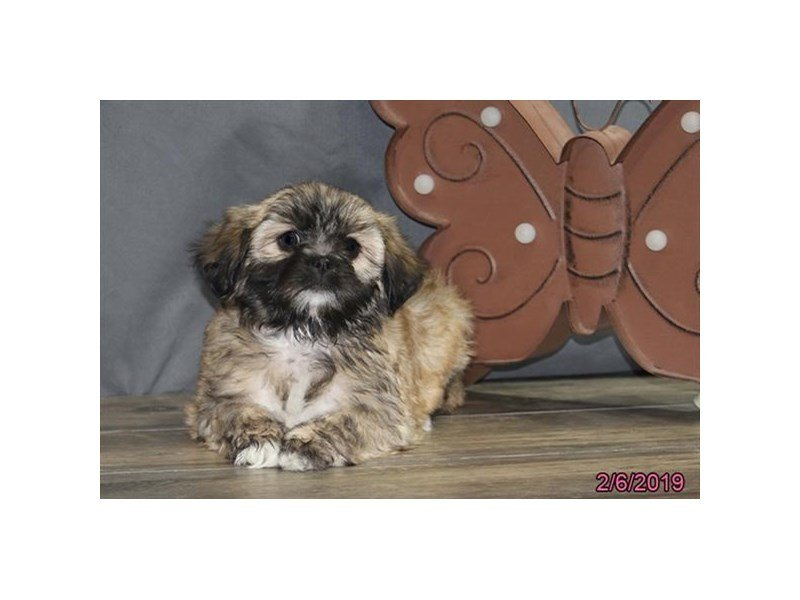 Lhasa Apso-Female-Red-2278675-Petland Montgomery