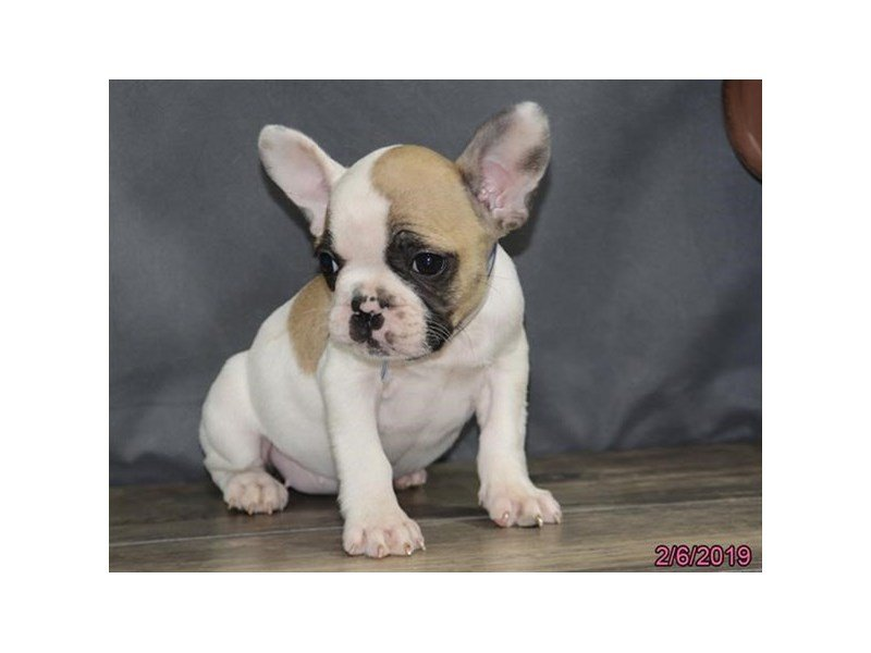 French Bulldog-Female-Fawn-2278692-Petland Montgomery