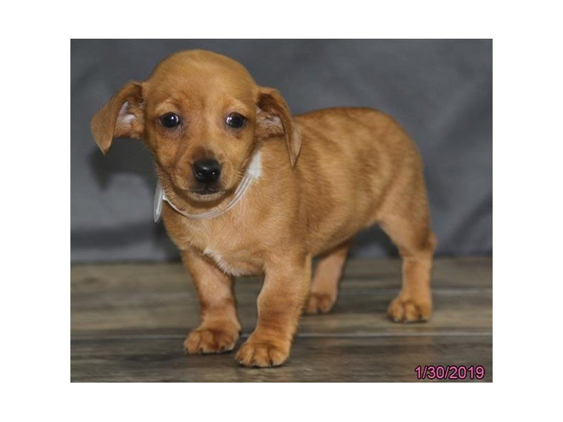 Dachshund-Female-Red-2273724-Petland Montgomery