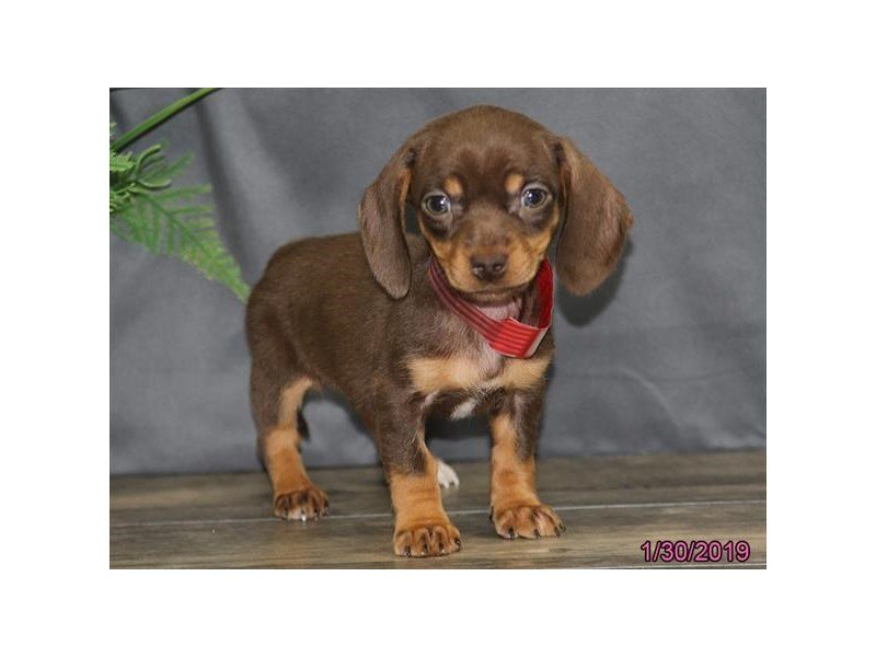 Dachshund-Female-Chocolate-2278687-Petland Montgomery