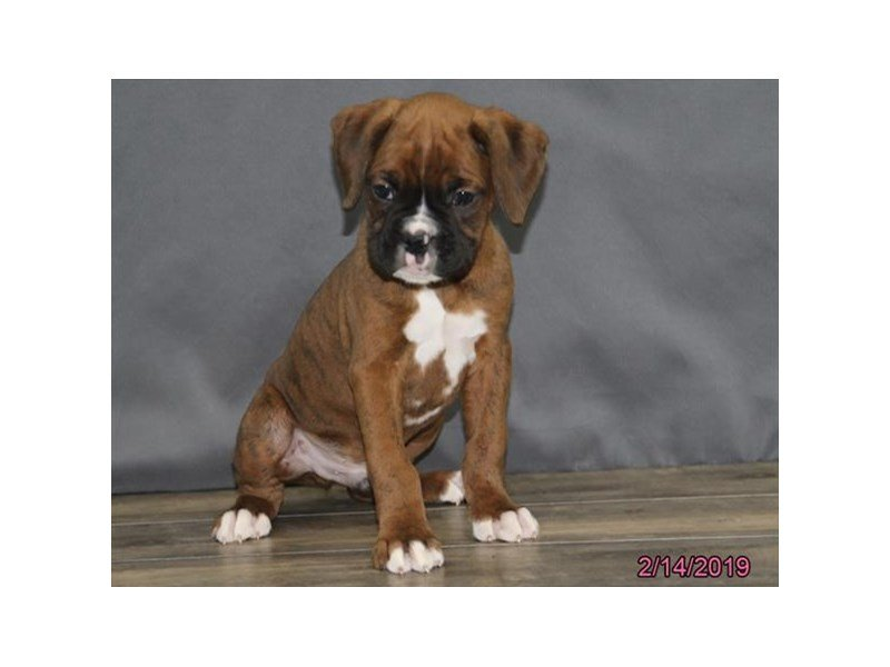 Boxer-Male-Brindle-2284238-Petland Montgomery