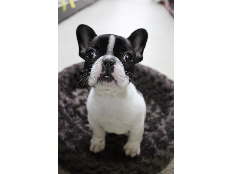 French Bulldog-Male-White / Black-2273694-Petland Montgomery