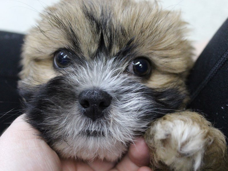 Lhasa Apso-Male-brown-2292915-Petland Montgomery