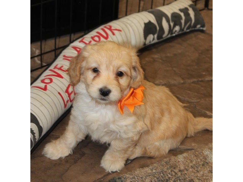 Goldendoodle Mini 2nd Gen-Female-Golden-2304290-Petland Montgomery