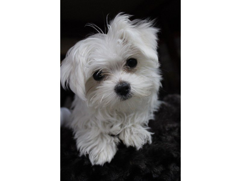 Maltese-Female-White-2284245-Petland Montgomery