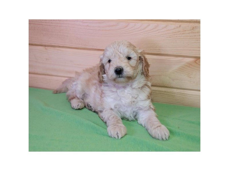 Goldendoodle Mini 2nd Gen-Male-Apricot-2278695-Petland Montgomery