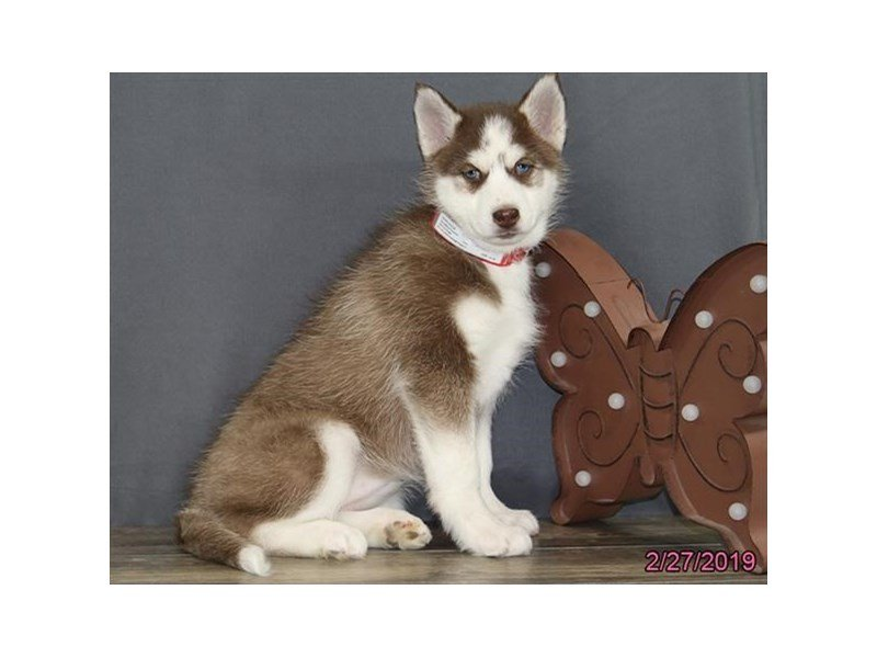 Siberian Husky-Female-Red / White-2295144-Petland Montgomery