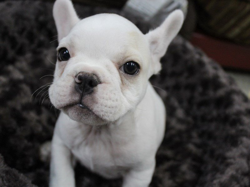 French Bulldog-Male-Cream-2306535-Petland Montgomery