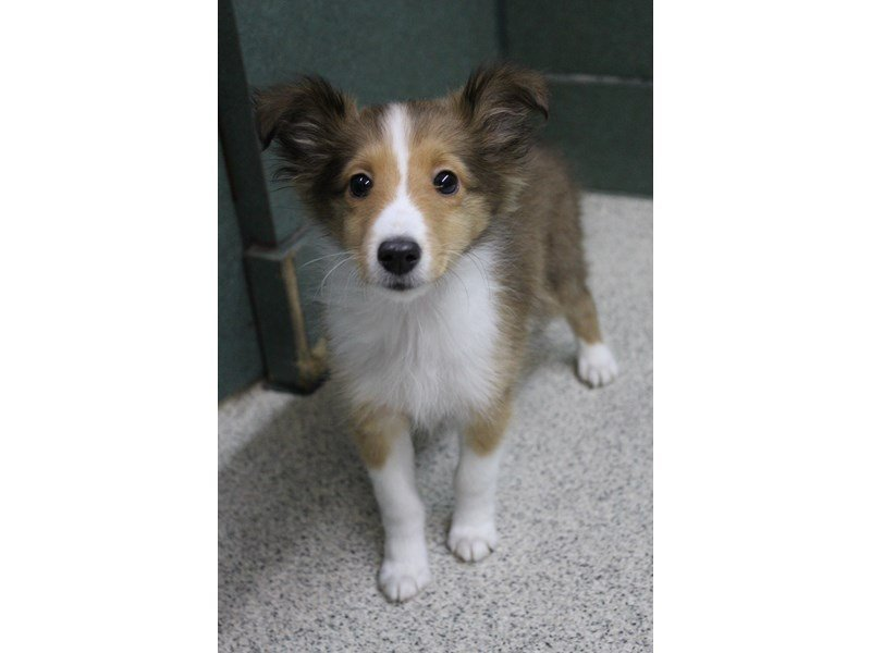 Shetland Sheepdog-Male-Sable / White-2295133-Petland Montgomery