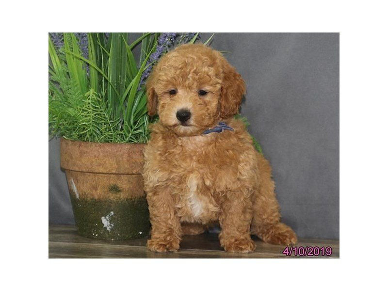 Poodle-Male-Red / White-2328417-Petland Montgomery