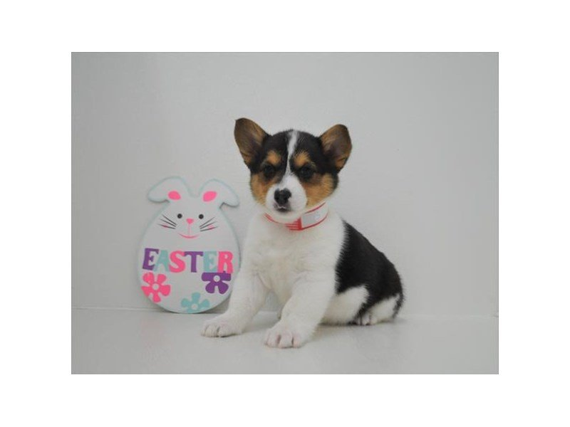 Pembroke Welsh Corgi-Female-Black White / Tan-2330404-Petland Montgomery