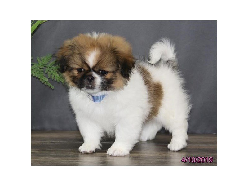 Pekingese-DOG-Female-Brown / White-2328407-Petland Montgomery