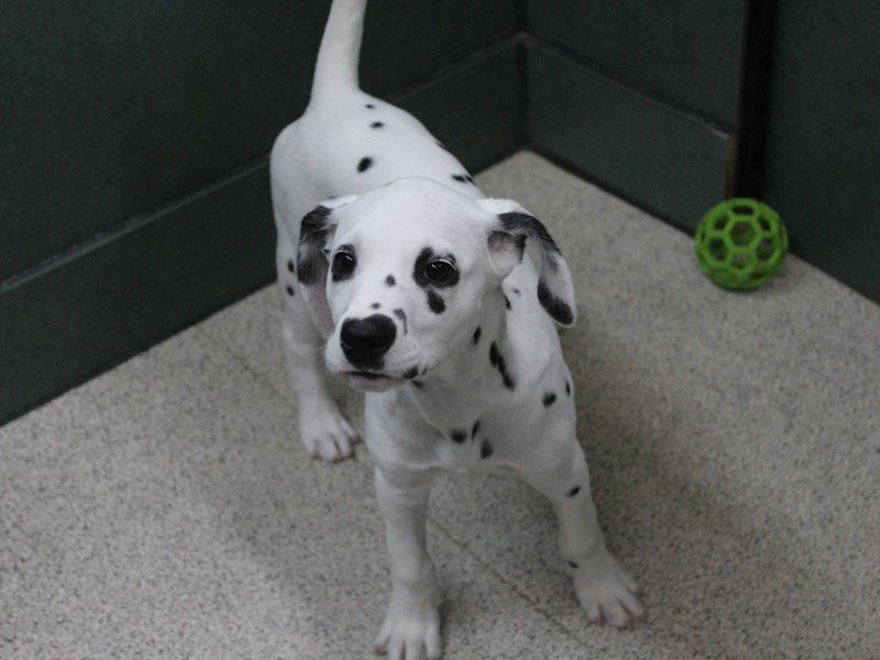 Dalmatian-Female-White and Black-2334613-Petland Montgomery