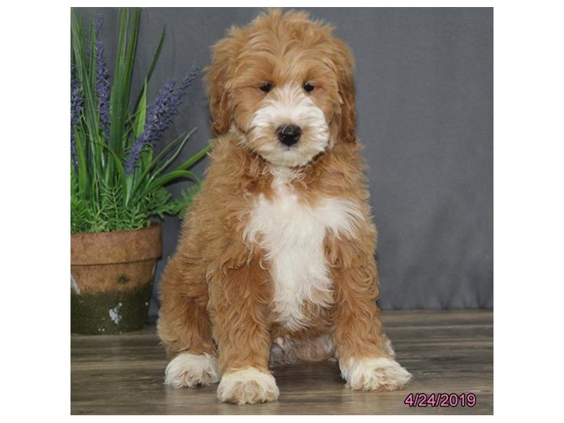 Goldendoodle 2nd Gen-Male-Apricot-2338978-Petland Montgomery