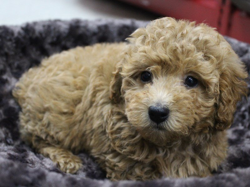 Miniature Poodle-Male-RED-2339826-Petland Montgomery