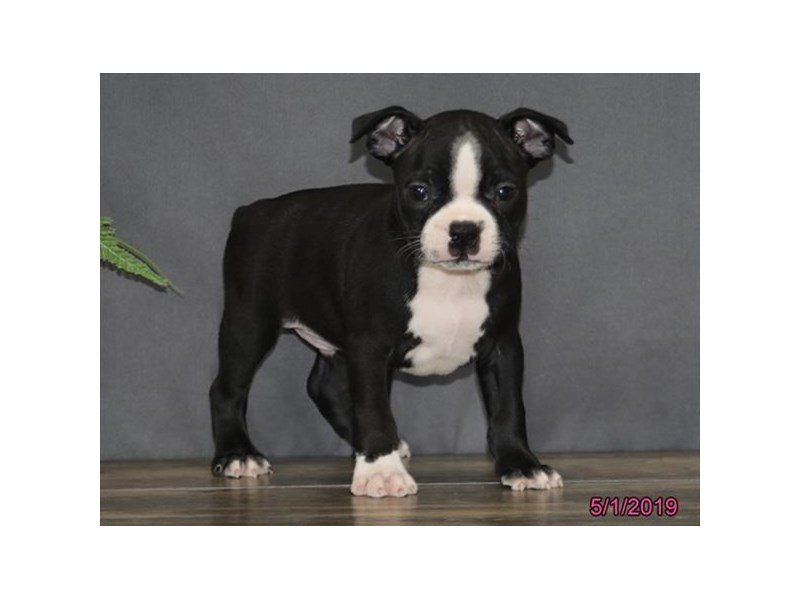 Boston Terrier-Male-Black / White-2344372-Petland Montgomery