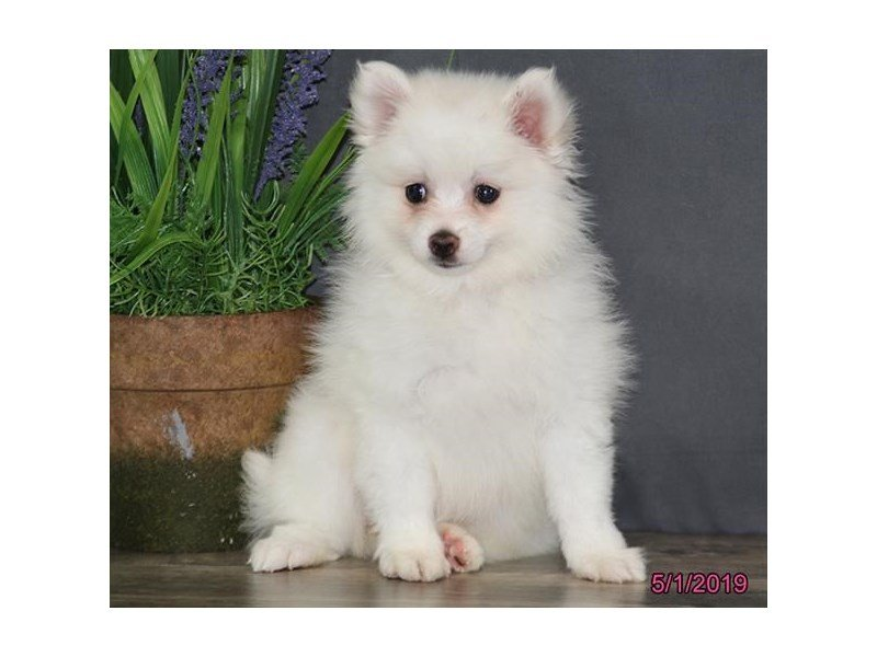 Pomeranian-Female-White / Cream-2344373-Petland Montgomery