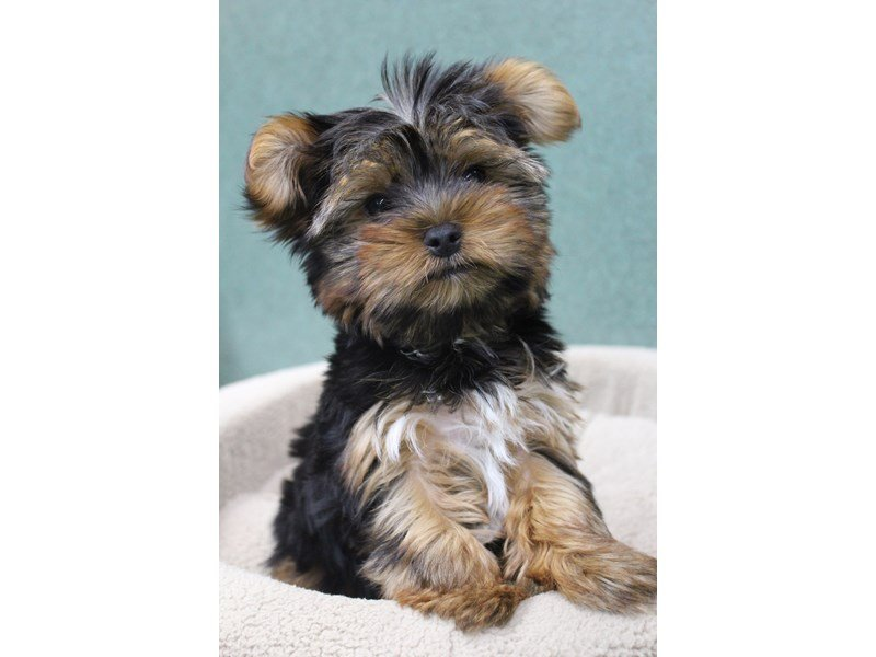 Yorkshire Terrier-Male-BLACK AND GOLD-2339832-Petland Montgomery