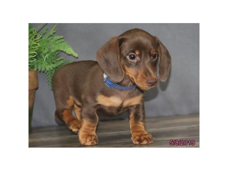 Dachshund-Male-Chocolate / Tan-2349998-Petland Montgomery