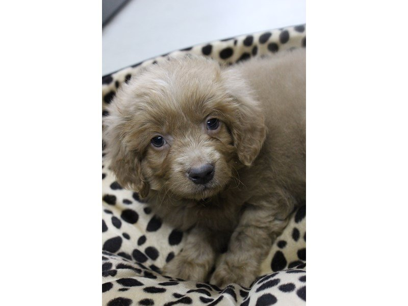 Goldendoodle Mini 2nd Gen-Male-Cream-2344381-Petland Montgomery