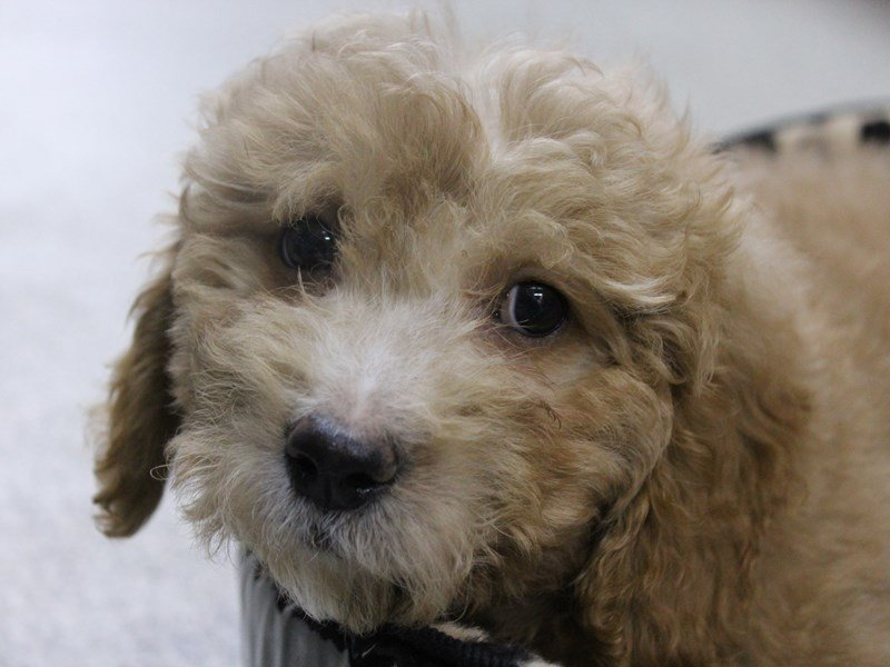 Goldendoodle Mini 2nd Gen-Female-Apricot-2344377-Petland Montgomery