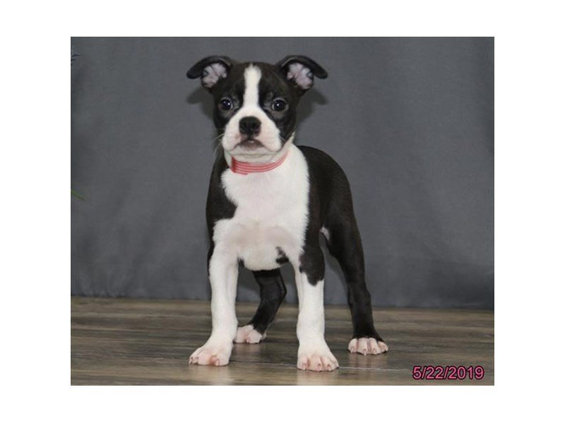 Boston Terrier-Female-Black / White-2362259-Petland Montgomery
