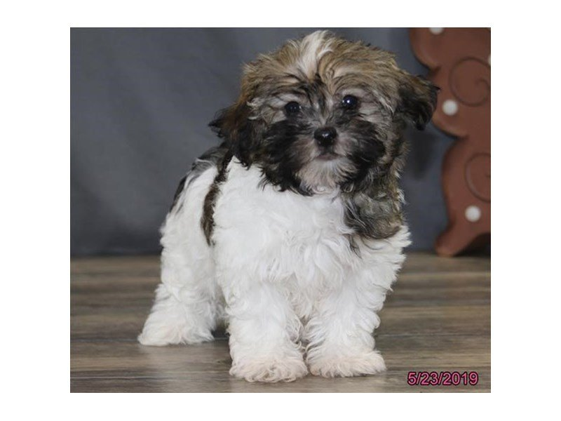 Havanese-Female-Brown / White-2362265-Petland Montgomery