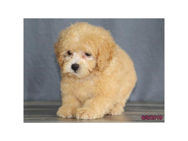 Poodle-Male-Red-2371724-Petland Montgomery